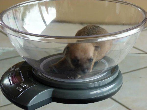 Le lundi, c'est la pesée des petits Chihuahua.
