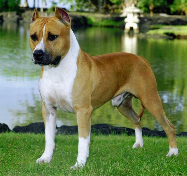 American Stanffordshire Terrier
