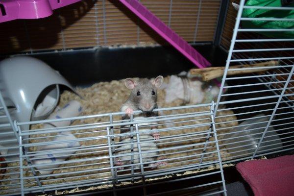Rats et dessins ! :3