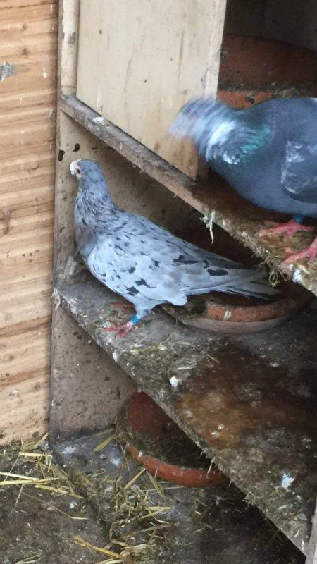 Pigeon arlequin?