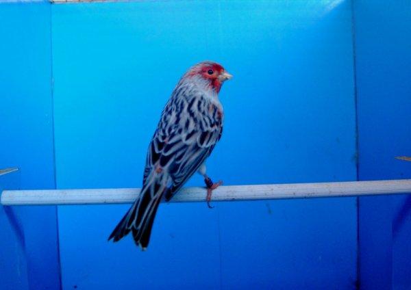 maschio agata rosso mosaico