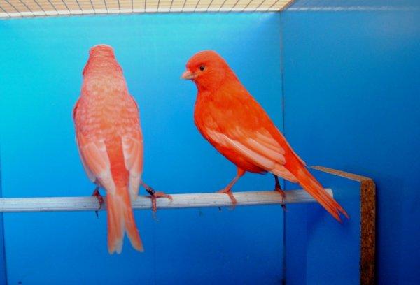 femmine rosse