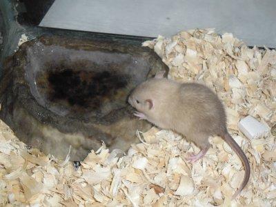 Voici mon rat