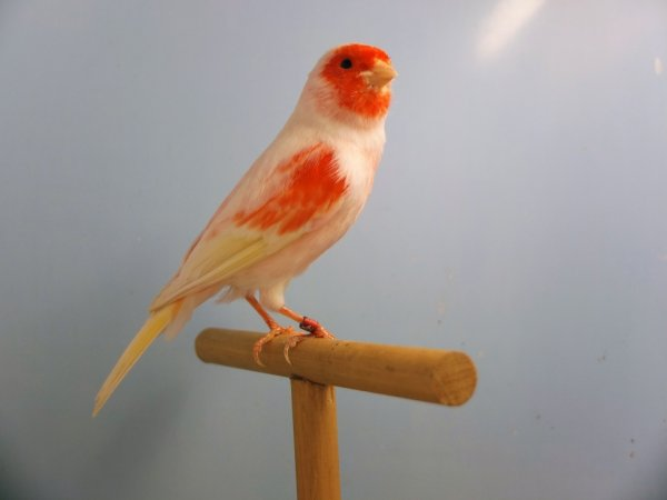 Red Clear Mosaic Male Colour Canaries