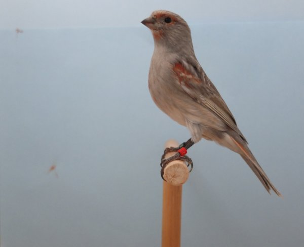 Red Black Greywing Pastel Mosaic Female 2014