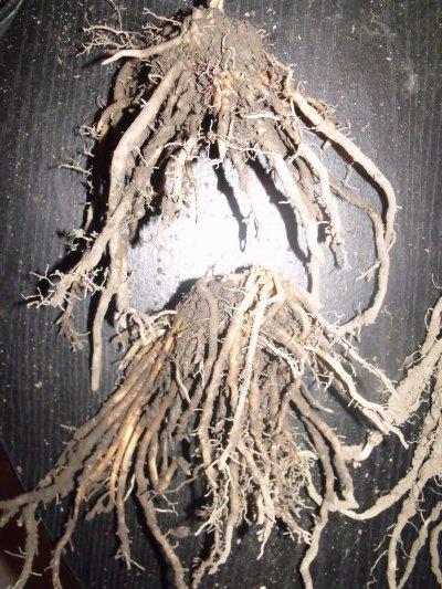 asperges blanche