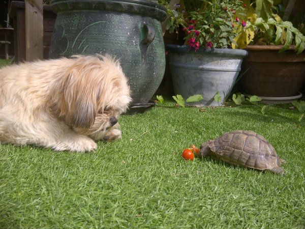 lamoure antre un chien est une tortue