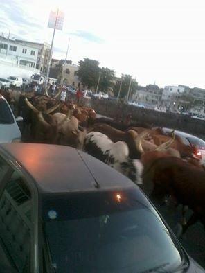 COMORES / L'image du jour : ces b½ufs qui bloquent la circulation