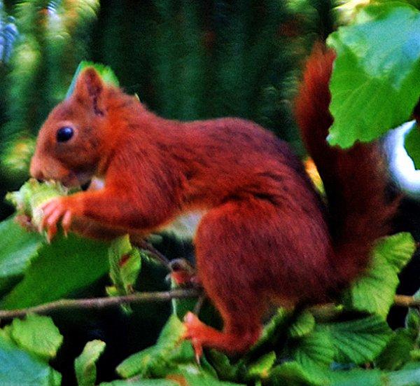 3 *  Cet écureuil je l'ai photographié dans mon jardin.  Prise de vue : Nikon D60, objectif  Sigma 400mm f5/6.     ( mise au point manuelle ).