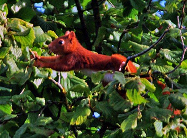 """4 *  Ce gentil petit écureuil """" vole """" de branche en branche à la recherche de savoureuses noisettes. Prise de vue : Nikon D60 Objectif sigma 400mm f5/6  ( mise au point manuelle )."""