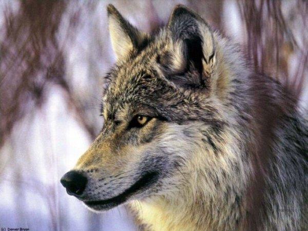 1 *   Quoi de plus fascinant que le regard d'un loup ?.  Cette superbe photo n'est pas de moi.... dommage !.