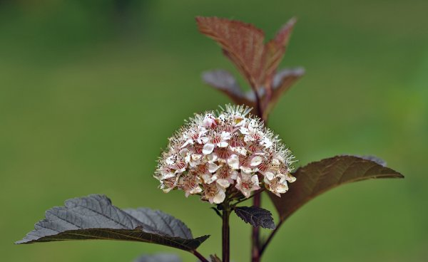 1171  *   Physocarpus opulifolius 'Diabolo.