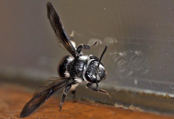 1256  *  Abeille Andrena cineraria.