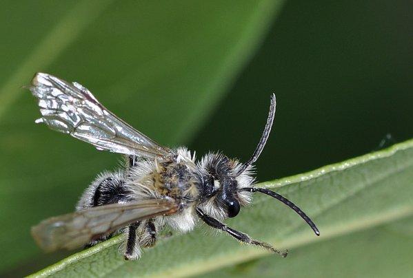 1268 *  Abeille ( Andrena Cineraria )