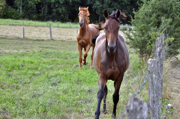 1329  *  Les chevaux.