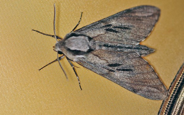 1336  *  Le sphinx du pin ( Hyloicus pinastri )