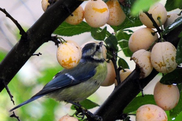 1338  *   Oiseaux et mirabelles.