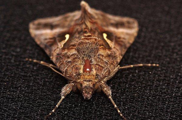 1352  *  Papillon de nuit.