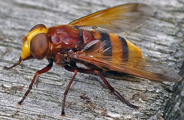 1381  *   Volucelle zonée femelle. ( Voculla zonaria )