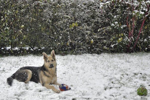 1403  *  Quoi de plus normal qu'un Loup dans la neige.