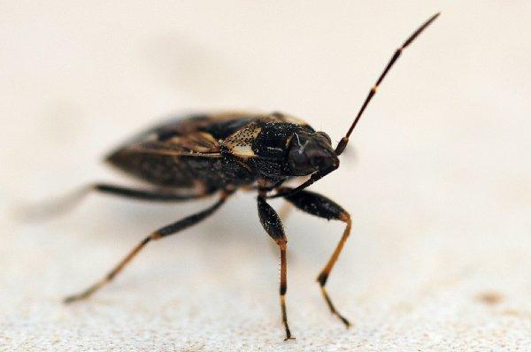 1511  *  Punaise ( Rhyparochromus vulgaris ).