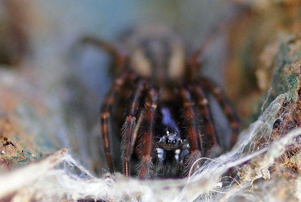 1543  *  Amaurobius femelle.