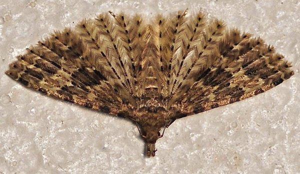 1545  *  Éventail. ( papillon plumes )