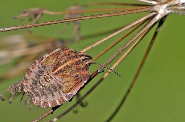 1644  *   Graphosoma italcum.