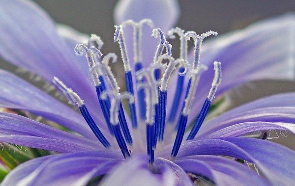 1694  *  Cichorium intybus L.