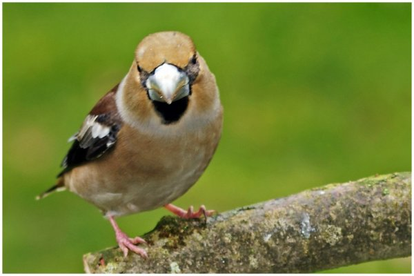 Les oiseaux du jardin.