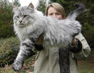 Chat Maine Coon - Blog...