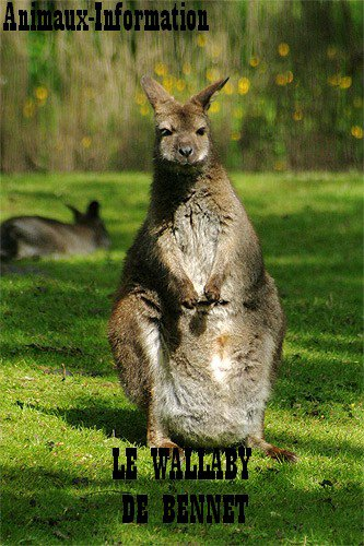 Wallaby de Bennet;