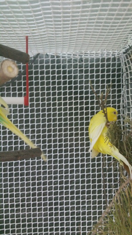 couple de perruche ondulée