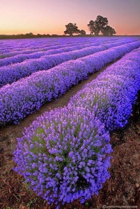 ****Petit coucou avec ce beau champ de lavandes****