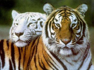 un tigre blanc et roux