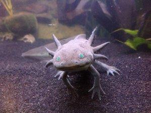 Axolotl  -  Monstre des Eaux