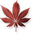 Enquête : Pourquoi le cannabis agit toujours plusieurs semaine après consommation