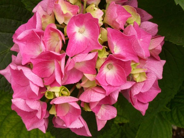 Hortensia : beaux mais mortels !