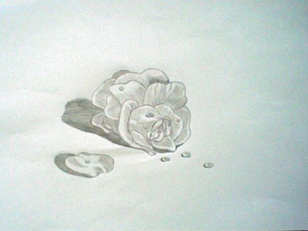 Rose et Gouttes de Rosée