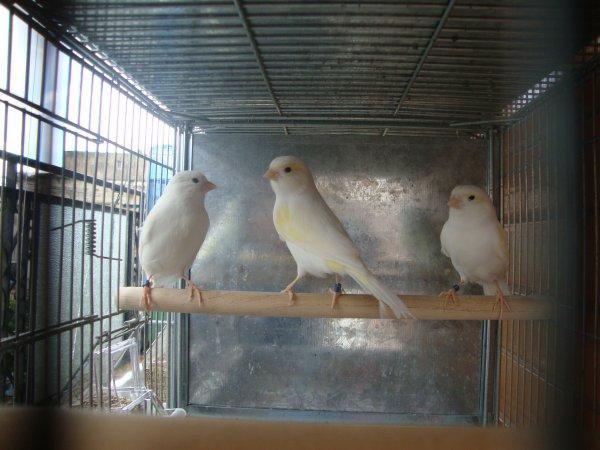 tre femmine in attesa di nidificare