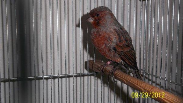 mâle noir/rouge schimel