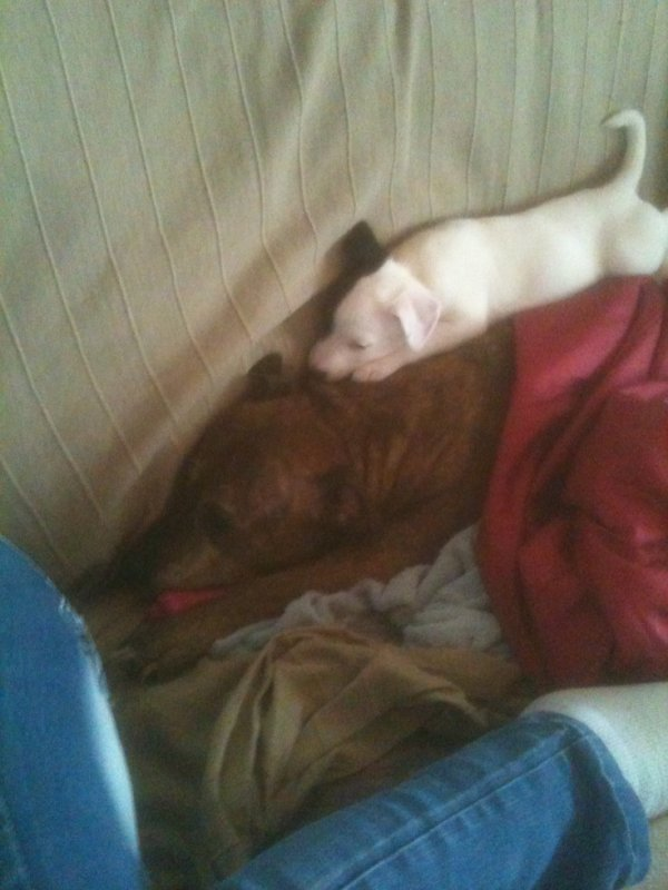 mes chien un staf de 13 ans et un jaqu de 3moi et on dira que les staf son mechant pfffff
