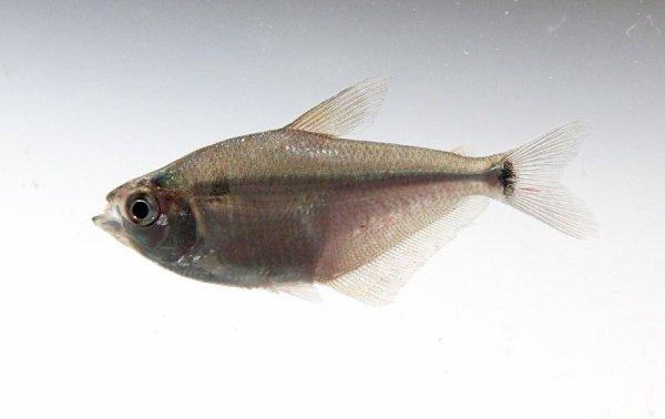 Des Poissons d'Aquarium  (10306)