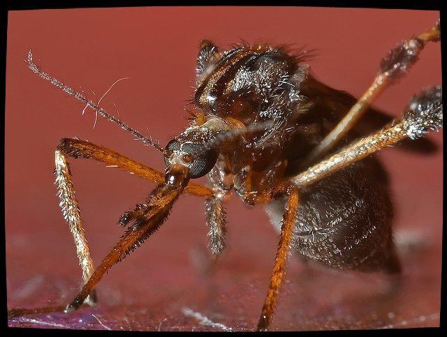 Des moustiques géants en Floride
