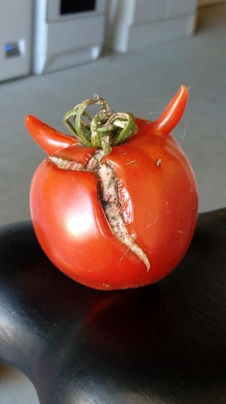 Une tomate a corne de vache