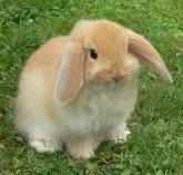 02. Le lapin bélier