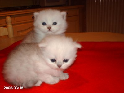 magnifique persans chinchilla loof