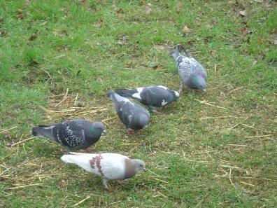 Les pigeons du Parc de Roodebeek
