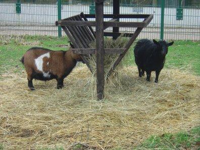 Les chèvres du Parc de Roodebeek
