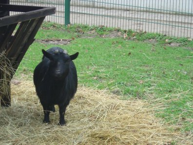 Une chèvre du Parc de Roodebeek